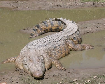Worlds Largest Reptile - Saltwater Crocodile