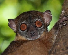 Sahafary Sportive Lemur - Lepilemur