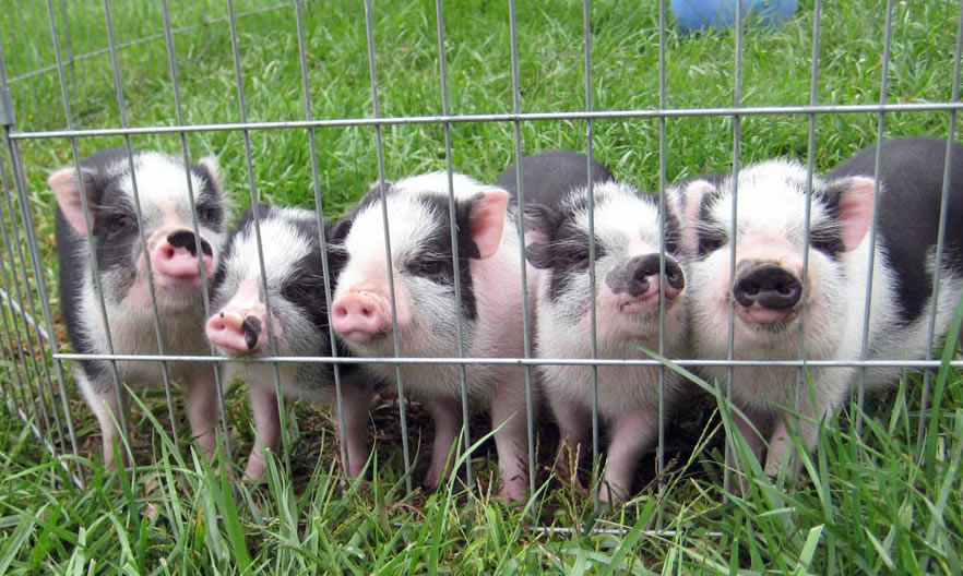 Gallery for cute pot belly pig pictures - Pot belly pigs as indoor pets ...