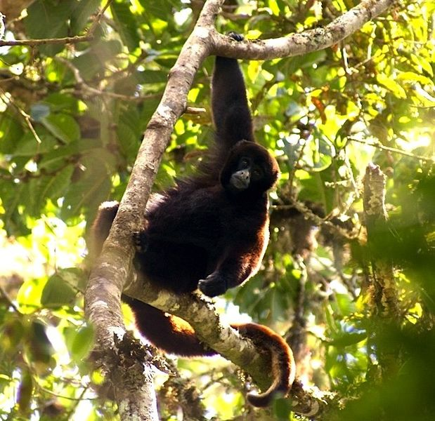 Yellow-Tailed Wooly Monkey