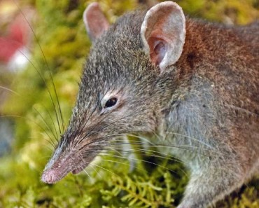 Worm-Eating Few-Toothed Rat