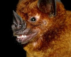 The Greater Speared-Nose Bat
