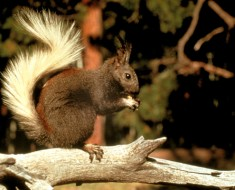 Grand Canyon Squirrel - Kaibab Squirrel