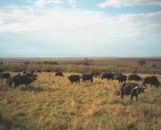 African Buffalo - Cape Buffalo