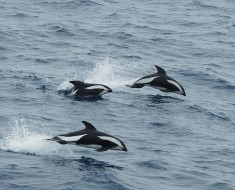 The Hourglass Dolphin - Sea Cows
