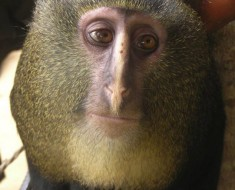 Newly Discovered Monkey - Lesula