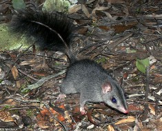 Brush-Tailed Phascogles