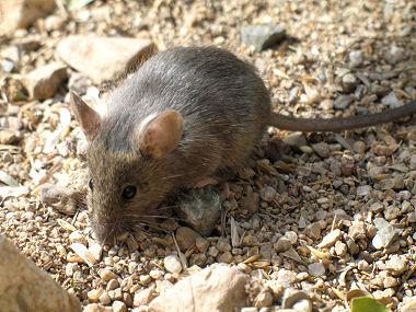 Cactus Mouse