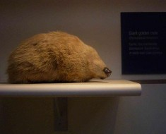 De Wintons Golden Mole from Global Species