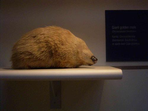 De Wintons Golden Mole from Global Species