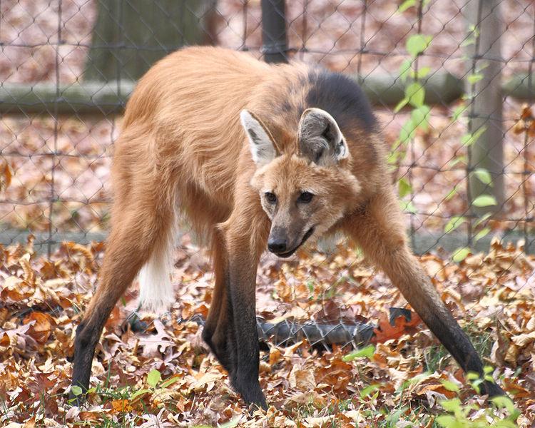 long legged fox from south america   maned wolf