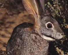 Riverine Rabbit from ItsNature.org