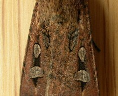 Long Distance Travellers - Bogong Moth