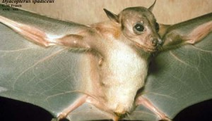 Dayak Fruit Bat