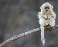 The Golden Snub-Nosed Monkey