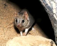 Marsupials of Australia - Kowari