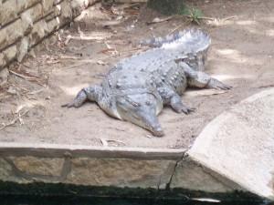 Largest South American Predator - Orinoco Crocodile