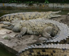 Largest Predator in South America - Orinoco Crocodile