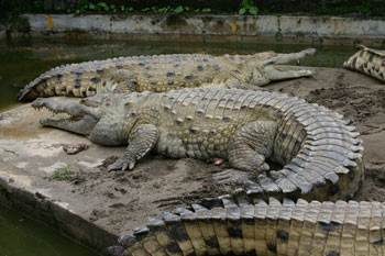 Largest Predator in South America - Orinoco Crocodile