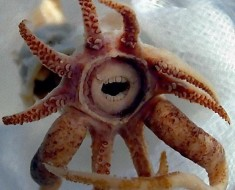 Squid with Teeth