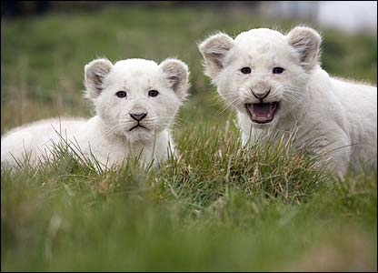 Do White Lions Really Exist?