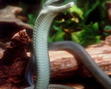 Worlds Deadliest Snake - Black Mamba