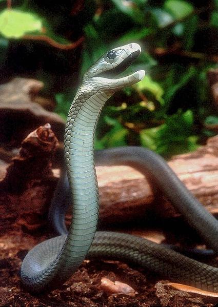 Worlds Deadliest Snake - Black Mamba