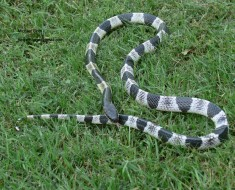Most Dangerous Snakes - Blue Krait