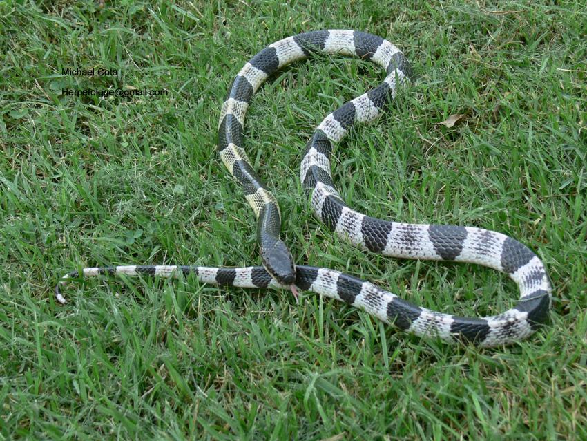 Most Dangerous Snakes - Blue Krait