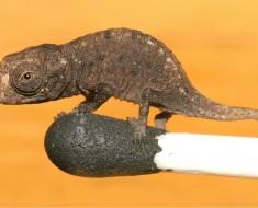 Brookesia micra on a match stick