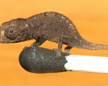 Brookesia micra on a match stick