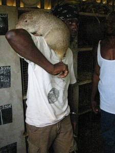 Illegal Selling of the Cane Rat