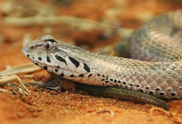 Venomous Snakes - Death Adder