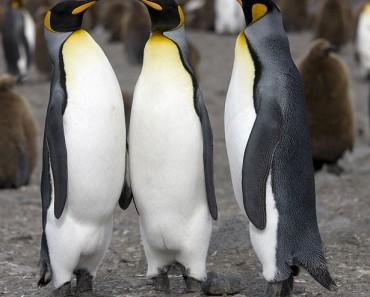 The King Penguin