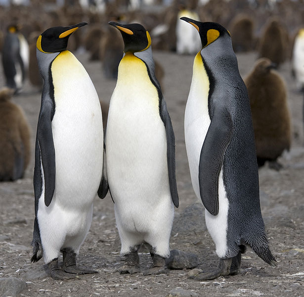 The King Penguin
