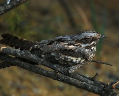 Stealth-like Birds - The Nightjar