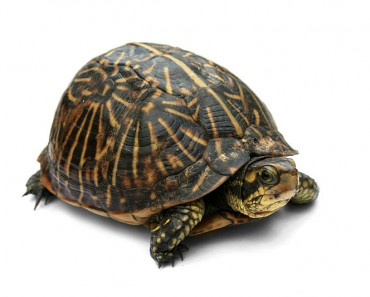 North American Box Turtle