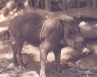 Palawan Pig