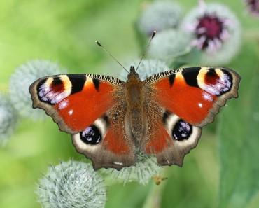 European Butterflies - Peacock Butterfly