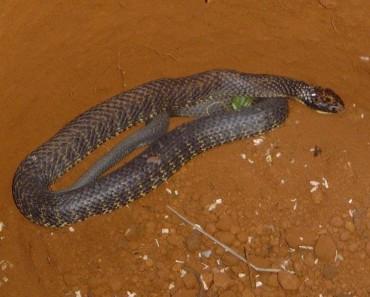 Worlds Venomous Snakes - Tiger Snake