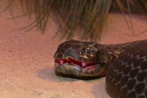 Worlds Most Deadly Snake - Tiger Snake
