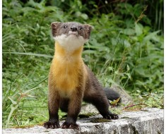 Largest Marten in the World