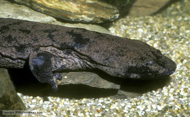 The Largest Salamander in the World - Chinese Giant Salamander