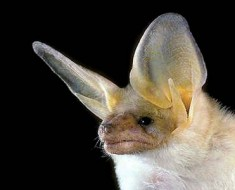 North American Bats - Pallid Bat