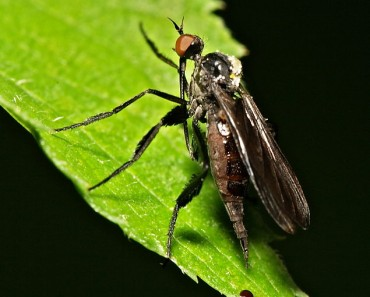 Odd Courtship Behaviour - Dance Flies