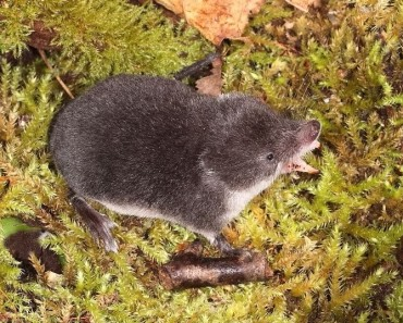 Eurasian Water Shrew