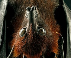 Largest Bats in the world - Large Flying Fox