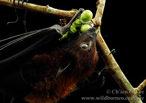 The Large Flying Fox