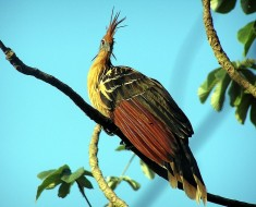 Smelly Birds - Hoatzin