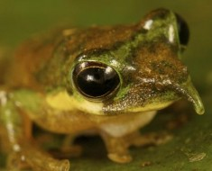 Long-Nosed Tree Frog